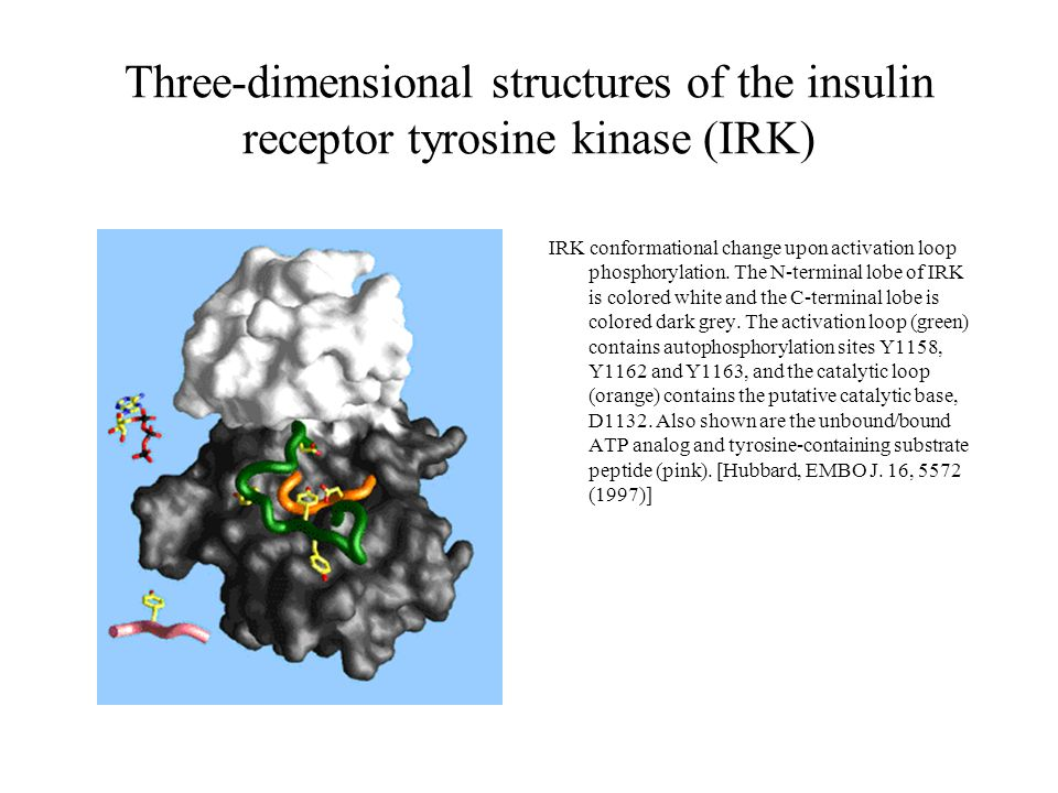 Three-dimensional structures of the insulin receptor tyrosine kinase (IRK) IRK conformational change upon activation loop phosphorylation. The N-termi