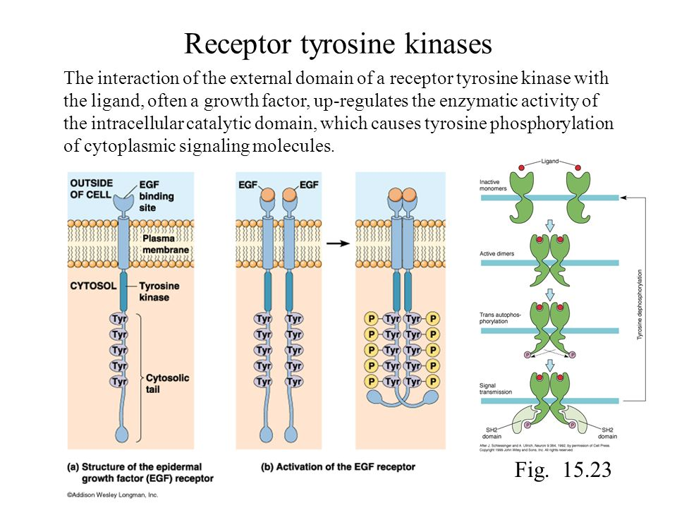 Receptor tyrosine kinases The interaction of the external domain of a receptor tyrosine kinase with the ligand, often a growth factor, up-regulates th