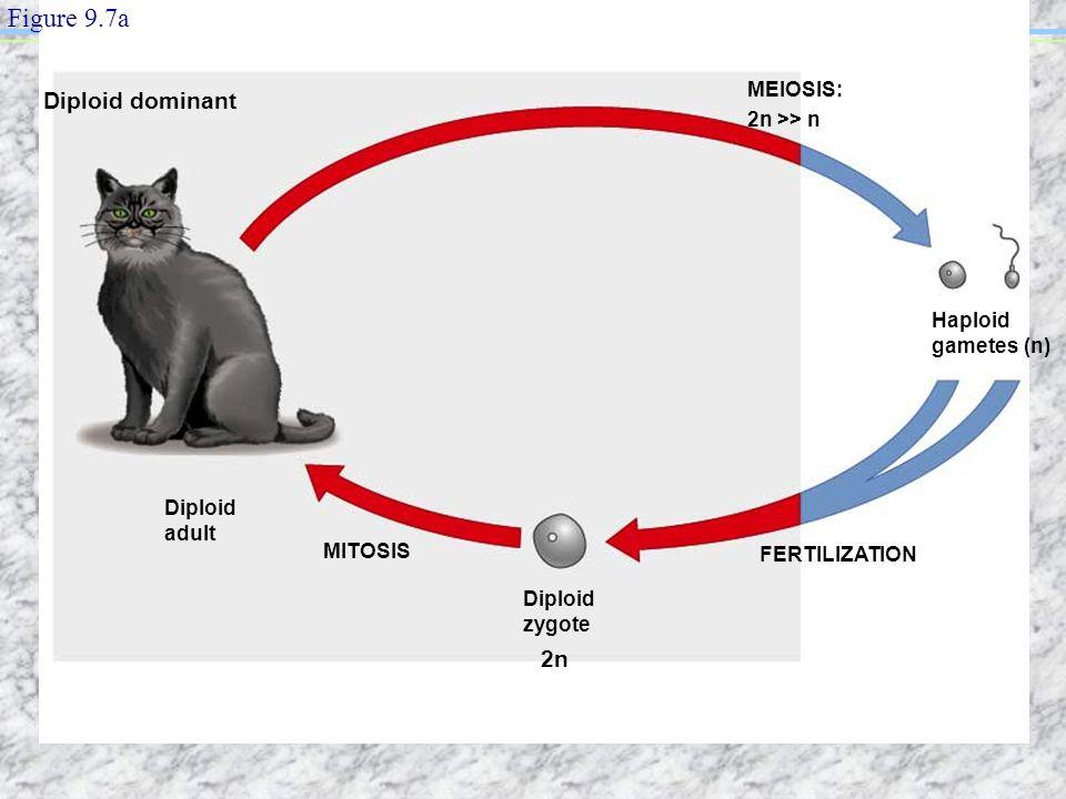 Diploid adult MITOSIS FERTILIZATION MEIOSIS: 2n >> n Haploid gametes (n) Diploid zygote Figure 9.7a Diploid dominant 2n