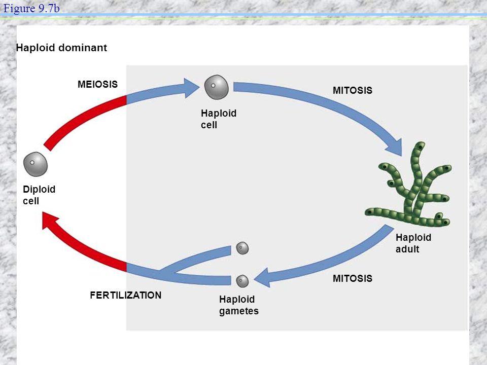 FERTILIZATION MITOSIS MEIOSIS Diploid cell Haploid cell Haploid gametes Haploid adult Haploid dominant Figure 9.7b