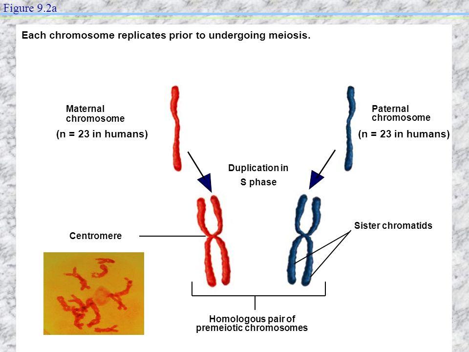 Each chromosome replicates prior to undergoing meiosis. Maternal chromosome Centromere Homologous pair of premeiotic chromosomes Duplication in S phas