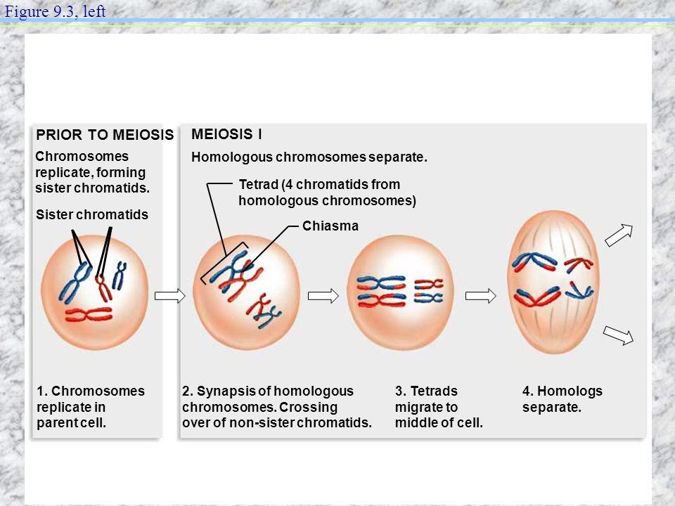 PRIOR TO MEIOSIS MEIOSIS I Homologous chromosomes separate. Sister chromatids Tetrad (4 chromatids from homologous chromosomes) Chiasma 1. Chromosomes