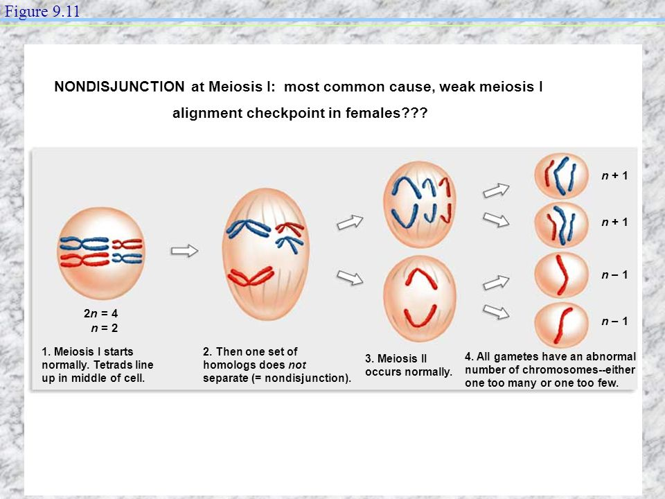 n + 1 n – 1 1. Meiosis I starts normally. Tetrads line up in middle of cell. 2. Then one set of homologs does not separate (= nondisjunction). 3. Meio