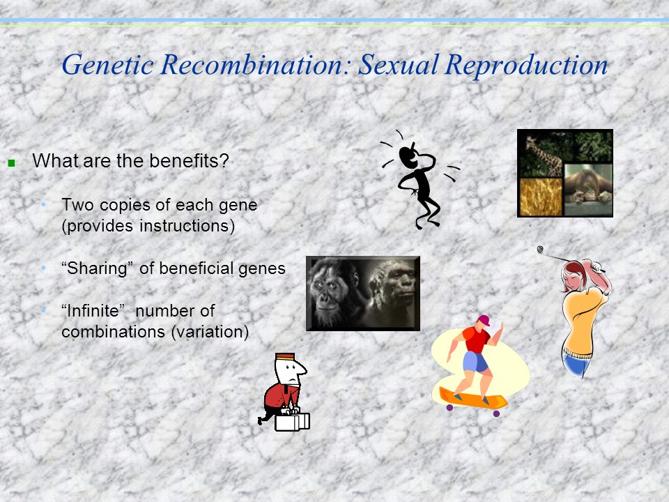 Genetic Recombination: Sexual Reproduction n What are the benefits? Two copies of each gene (provides instructions) Sharing of beneficial genes Infini