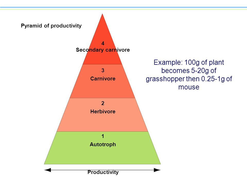 4 Secondary carnivore 3 Carnivore 2 Herbivore 1 Autotroph Productivity Example: 100g of plant becomes 5-20g of grasshopper then 0.25-1g of mouse Pyram