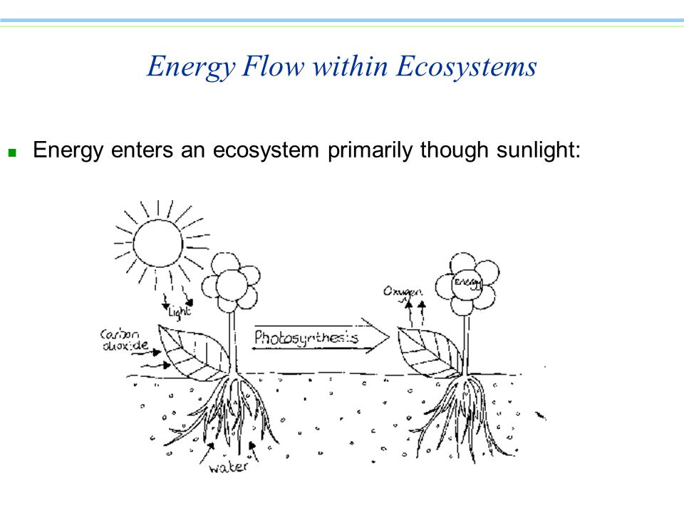 Energy Flow within Ecosystems n Energy enters an ecosystem primarily though sunlight: