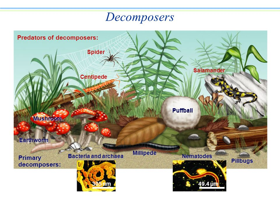 Predators of decomposers: Spider Centipede Mushroom Earthworm Primary decomposers: Bacteria and archaea Millipede Nematodes Pillbugs Salamander 305 nm