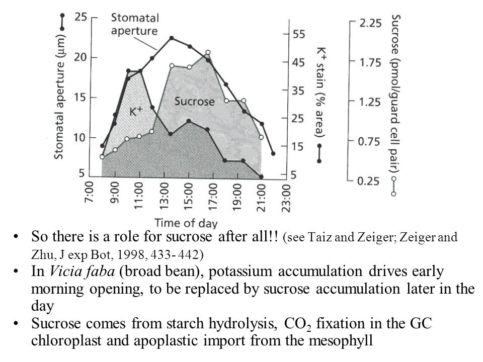 So there is a role for sucrose after all!! (see Taiz and Zeiger; Zeiger and Zhu, J exp Bot, 1998, 433- 442) In Vicia faba (broad bean), potassium accu
