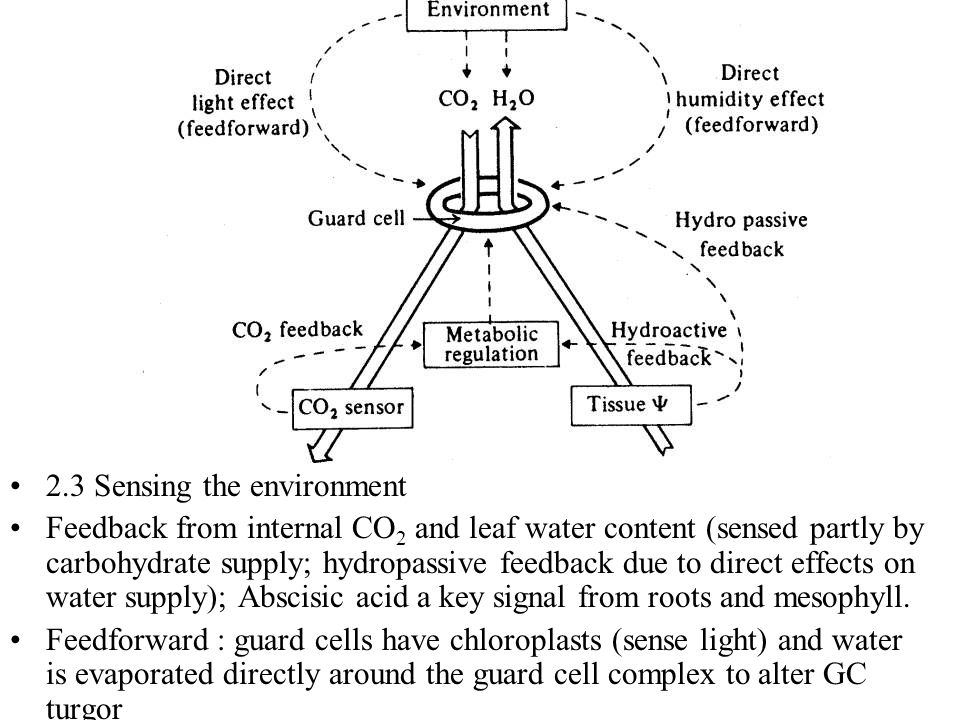2.3 Sensing the environment Feedback from internal CO 2 and leaf water content (sensed partly by carbohydrate supply; hydropassive feedback due to dir