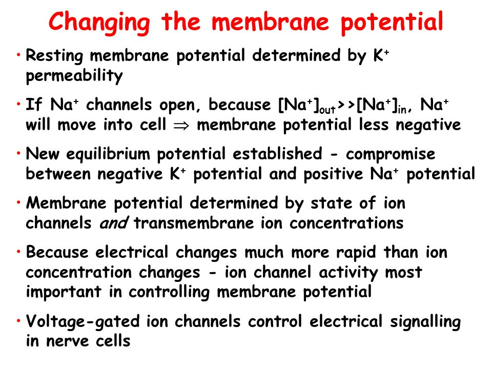 Changing the membrane potential Resting membrane potential determined by K + permeability If Na + channels open, because [Na + ] out >>[Na + ] in, Na