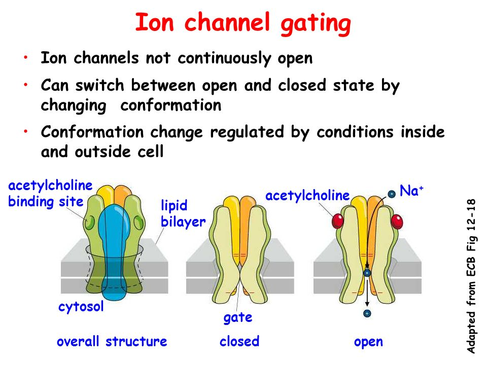 Ion channel gating Ion channels not continuously open Can switch between open and closed state by changing conformation Conformation change regulated