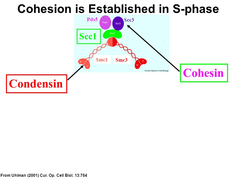 Cohesion is Established in S-phase Condensin Cohesin From Uhlman (2001) Cur. Op. Cell Biol. 13:754 Scc1 Scc3 Pds5 Smc1 Smc3