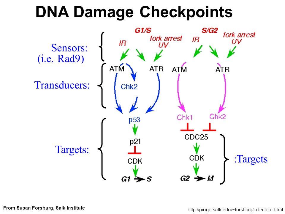 Sensors: (i.e. Rad9) Transducers: Targets: DNA Damage Checkpoints http://pingu.salk.edu/~forsburg/cclecture.html From Susan Forsburg, Salk Institute :