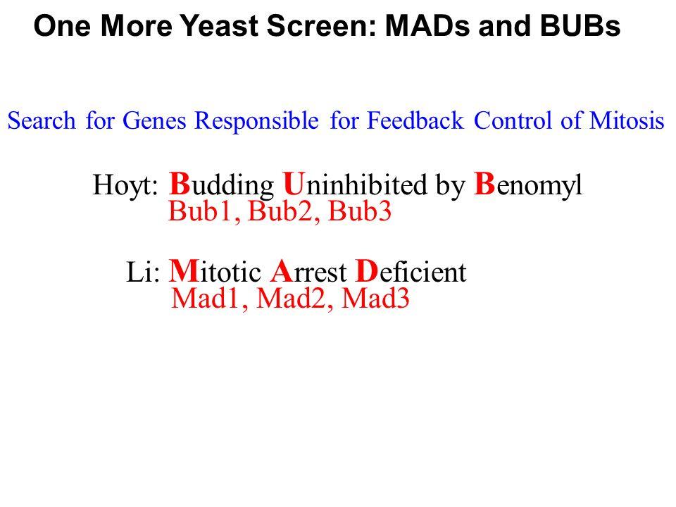 One More Yeast Screen: MADs and BUBs Hoyt: B udding U ninhibited by B enomyl Bub1, Bub2, Bub3 Li: M itotic A rrest D eficient Mad1, Mad2, Mad3 Search