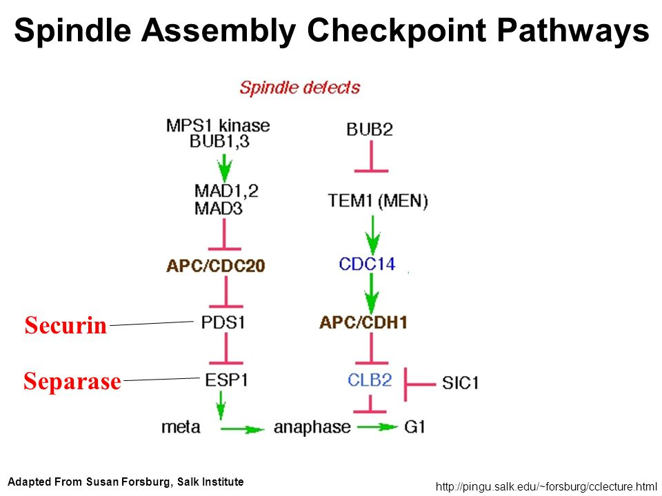 http://pingu.salk.edu/~forsburg/cclecture.html Adapted From Susan Forsburg, Salk Institute Spindle Assembly Checkpoint Pathways Securin Separase