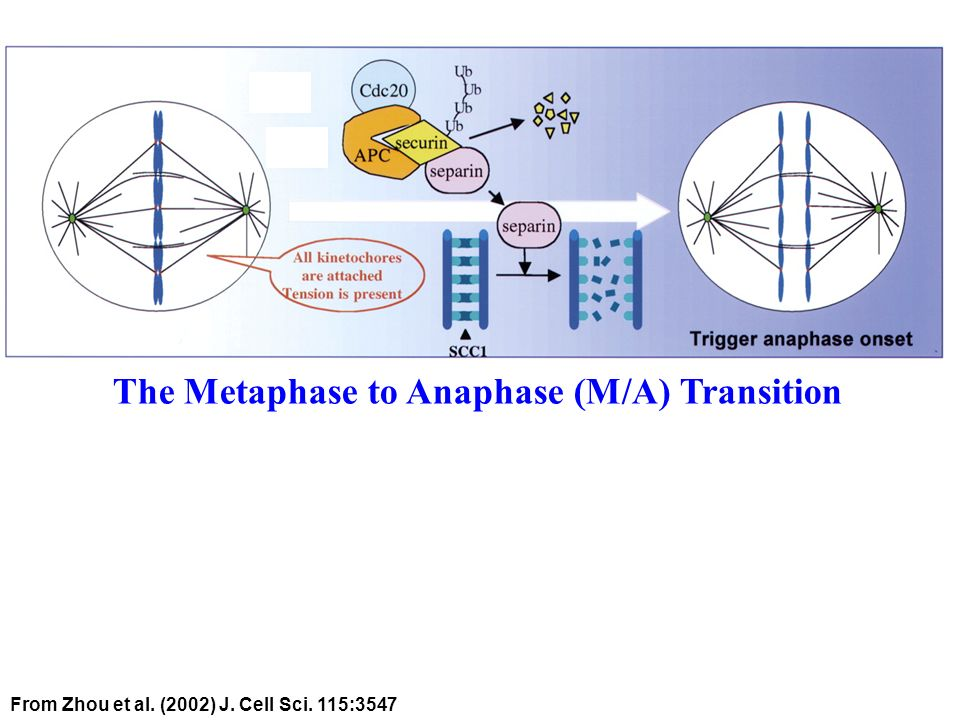 From Zhou et al. (2002) J. Cell Sci. 115:3547 The Metaphase to Anaphase (M/A) Transition