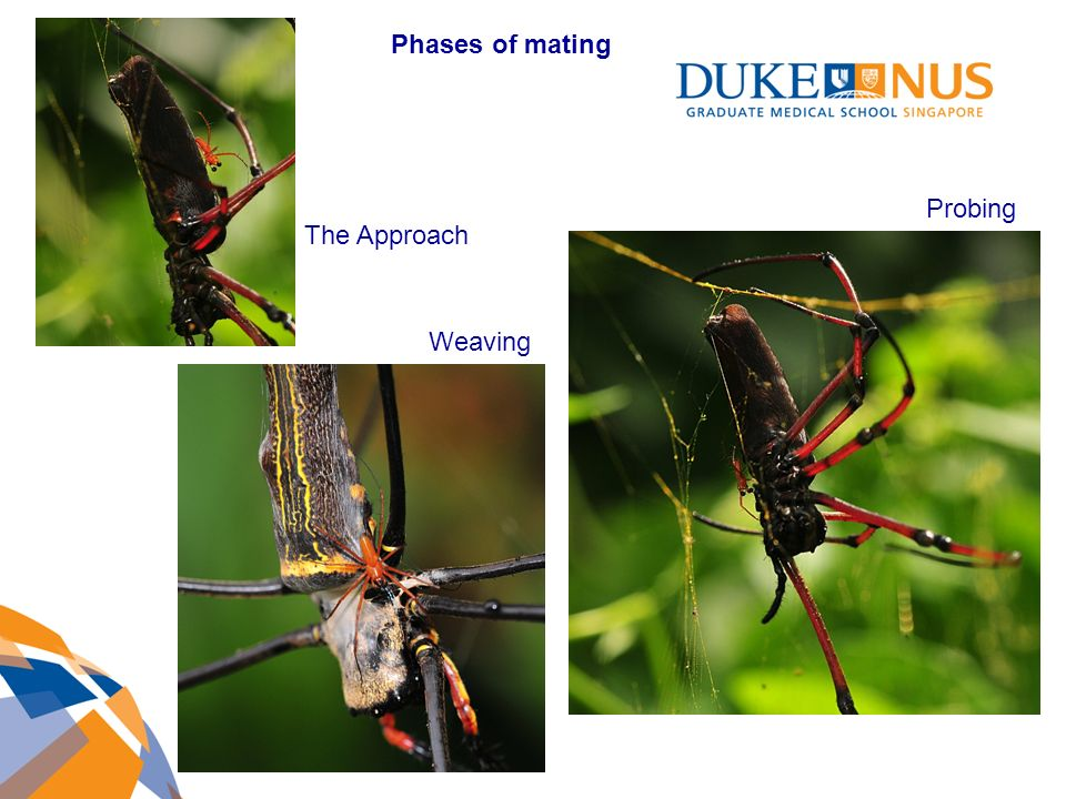 The Approach Weaving Probing Phases of mating