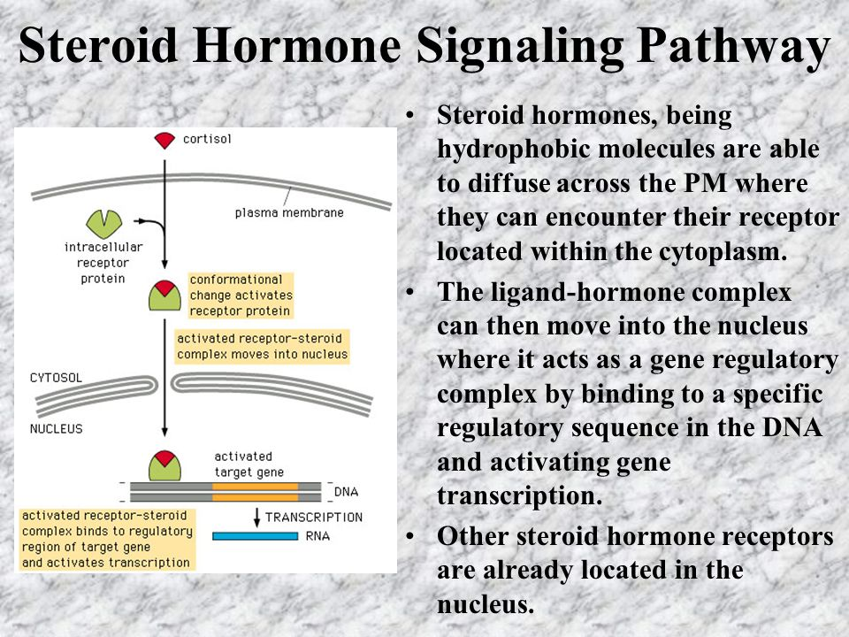 Steroid Hormone Signaling Pathway Steroid hormones, being hydrophobic molecules are able to diffuse across the PM where they can encounter their recep