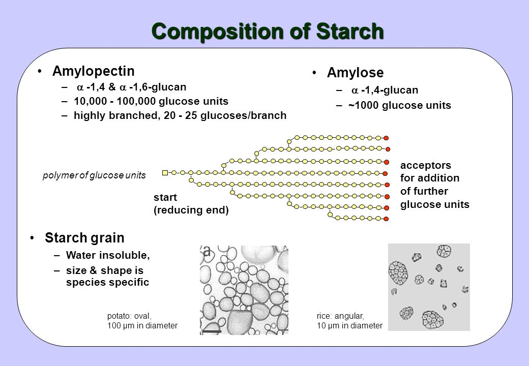 Importance of Starch Sunflower after 47 min photosynthesis Carbon absorbed (mg) 7.87 Hexose accumulated 1.17 Sucrose 4.20 Starch 1.84 Starch is the do