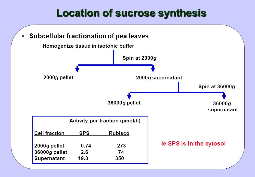 Relationship between enzyme activities and sucrose synthesis Sucrose is made via Sucrose-P 14 CO 2 incorporation experiments show label goes from UDP-