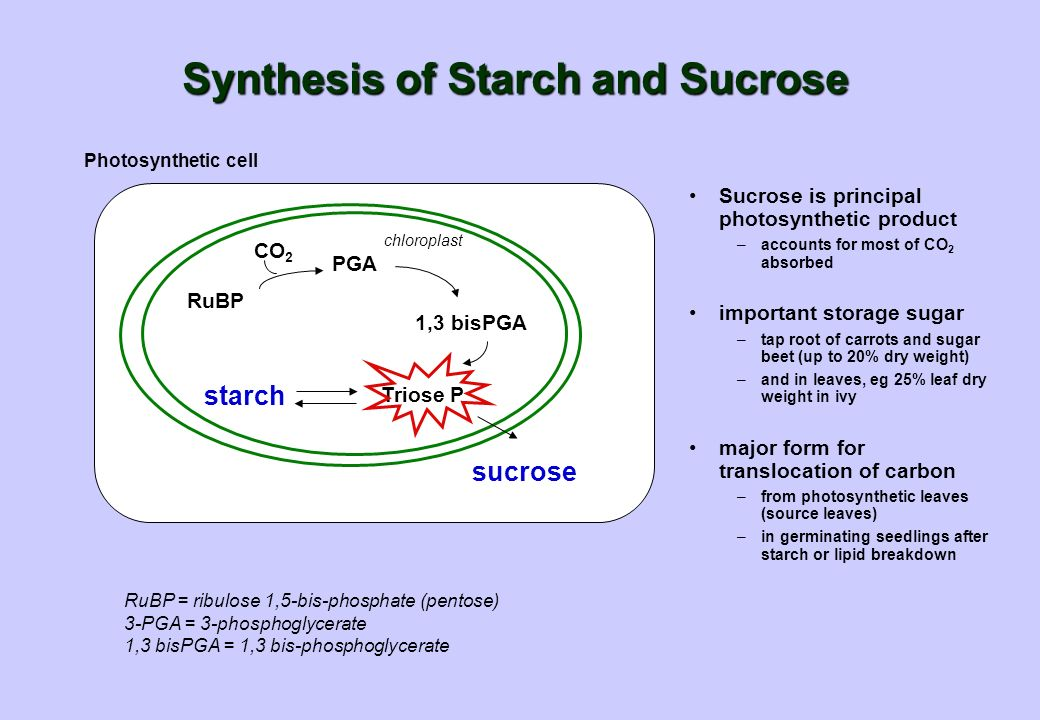 chloroplast Photosynthetic cell Synthesis of Starch and Sucrose sucrose starch 1,3 bisPGA PGA CO 2 RuBP Triose P Sucrose is principal photosynthetic product –accounts for most of CO 2 absorbed important storage sugar –tap root of carrots and sugar beet (up to 20% dry weight) –and in leaves, eg 25% leaf dry weight in ivy major form for translocation of carbon –from photosynthetic leaves (source leaves) –in germinating seedlings after starch or lipid breakdown RuBP = ribulose 1,5-bis-phosphate (pentose) 3-PGA = 3-phosphoglycerate 1,3 bisPGA = 1,3 bis-phosphoglycerate