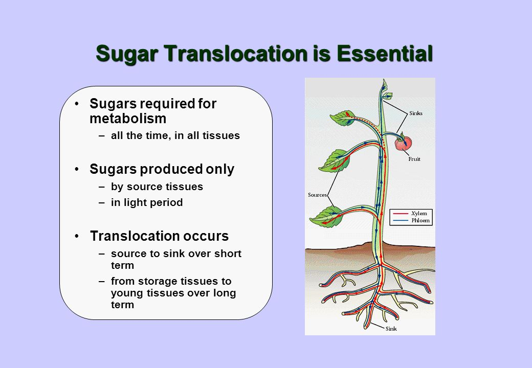 Sugar Translocation is Essential Sugars required for metabolism –all the time, in all tissues Sugars produced only –by source tissues –in light period Translocation occurs –source to sink over short term –from storage tissues to young tissues over long term
