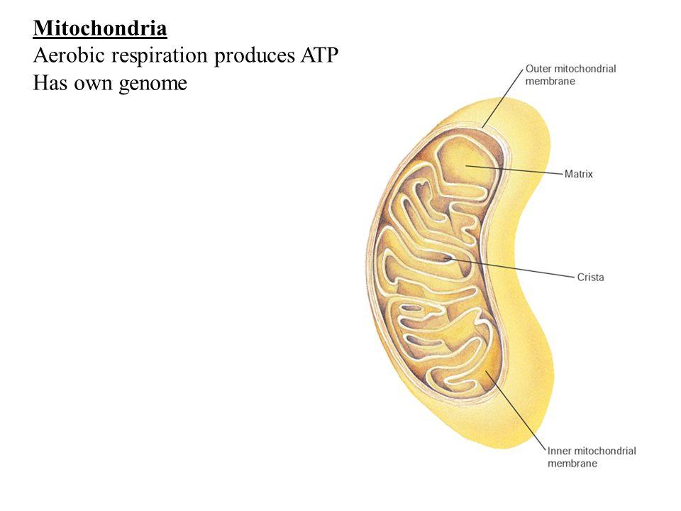 Mitochondria Aerobic respiration produces ATP Has own genome