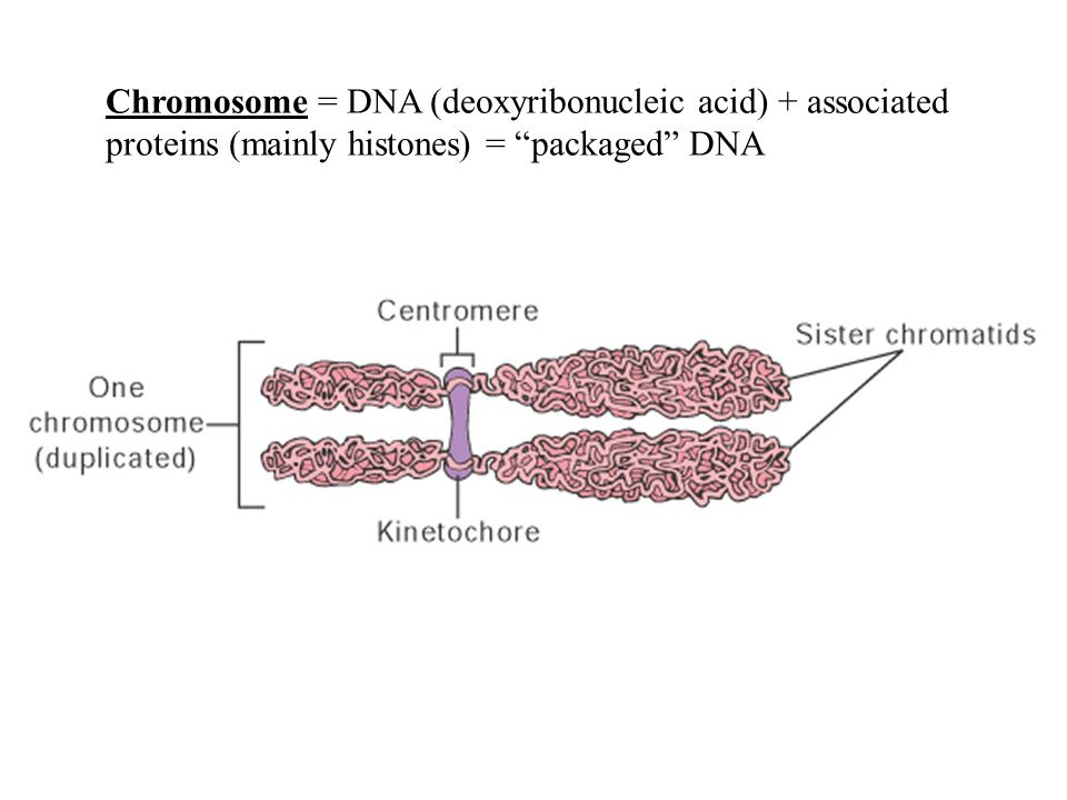 Chromosome = DNA (deoxyribonucleic acid) + associated proteins (mainly histones) = packaged DNA