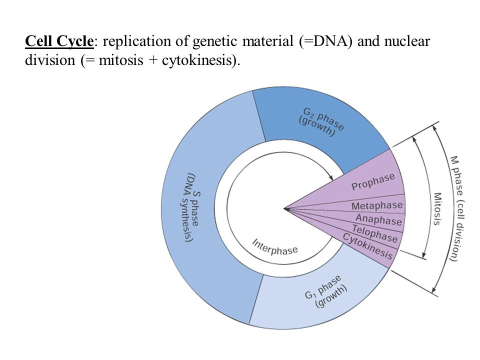 Cell Cycle: replication of genetic material (=DNA) and nuclear division (= mitosis + cytokinesis).