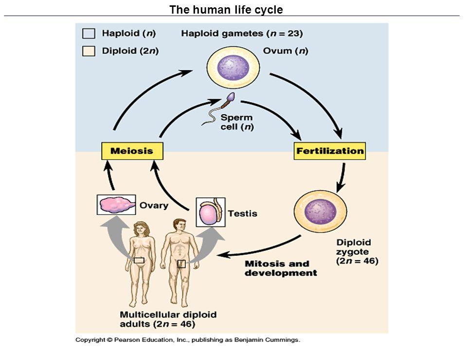 The human life cycle