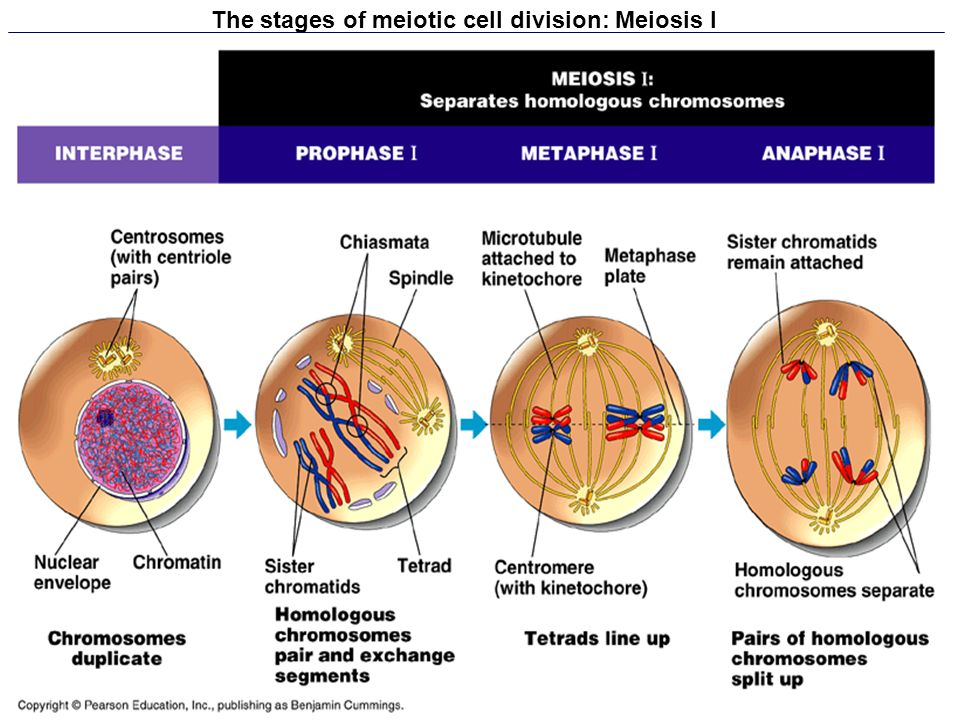 The stages of meiotic cell division: Meiosis I