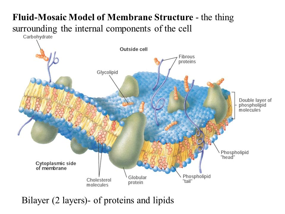 Fluid-Mosaic Model of Membrane Structure - the thing surrounding the internal components of the cell Bilayer (2 layers)- of proteins and lipids