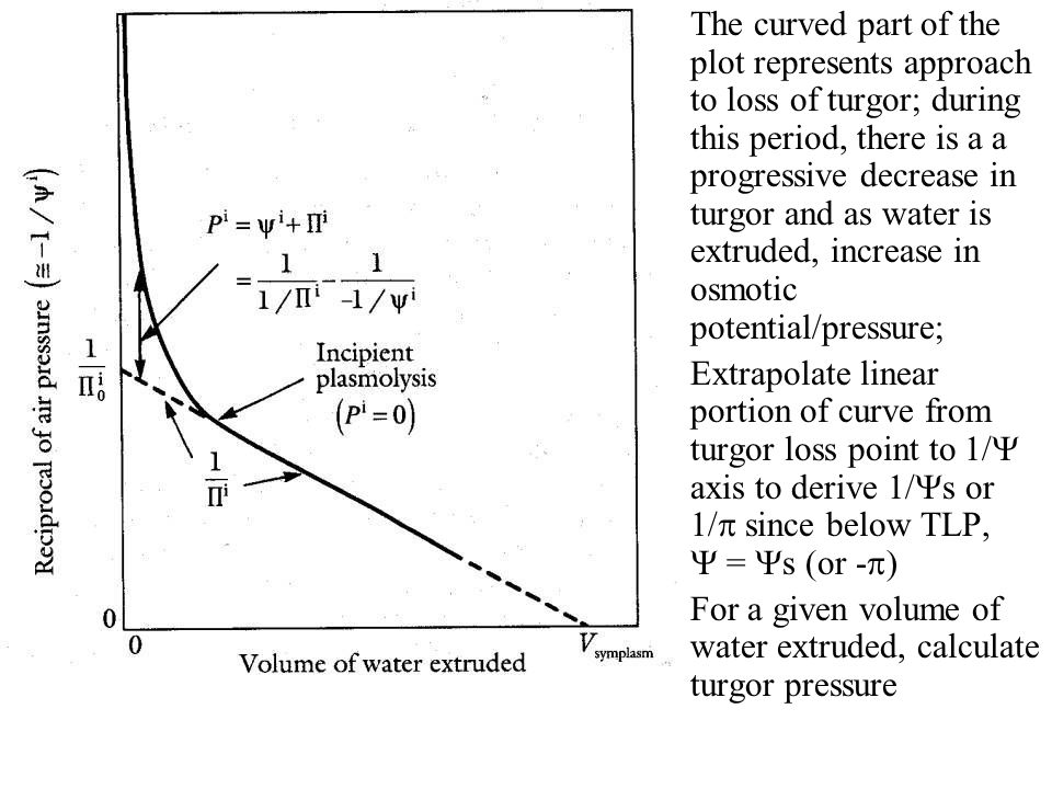 Elasticity of cell walls- the shape of the curve is markedly dependent on the wall rigidity; if the wall is very rigid, the water potential components change very rapidly for a given water loss; more elastic cells allow turgor to be maintained as cells progressively dehydrate, because of the extra give in the cell wall Bulk modulus of elasticity, (MPa), amount by which a small change in volume ( V) brings about a small change in turgor ( P), such that P =.