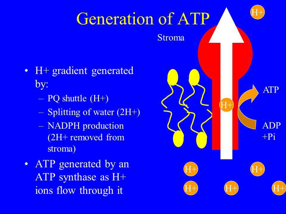 Generation of ATP H+ gradient generated by: –PQ shuttle (H+) –Splitting of water (2H+) –NADPH production (2H+ removed from stroma) ATP generated by an