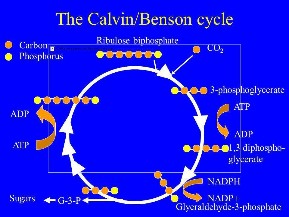 The Calvin/Benson cycle Ribulose biphosphate CO 2 Carbon Phosphorus 3-phosphoglycerate ATP ADP 1,3 diphospho- glycerate NADPH NADP+ Glyeraldehyde-3-phosphate G-3-P Sugars ATP ADP