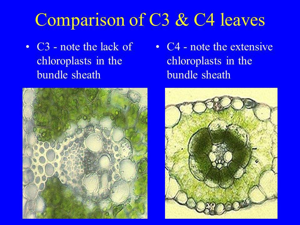 Comparison of C3 & C4 leaves C3 - note the lack of chloroplasts in the bundle sheath C4 - note the extensive chloroplasts in the bundle sheath