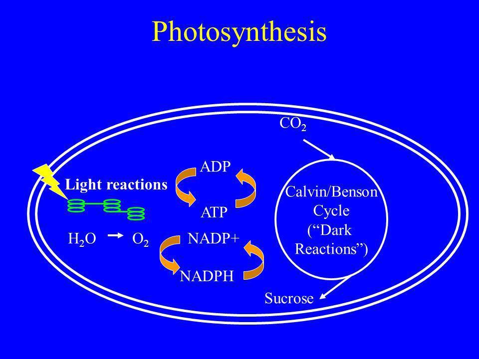 Photosynthesis Light reactions Calvin/Benson Cycle (Dark Reactions) ADP ATP NADP+ NADPH CO 2 Sucrose H 2 O O 2