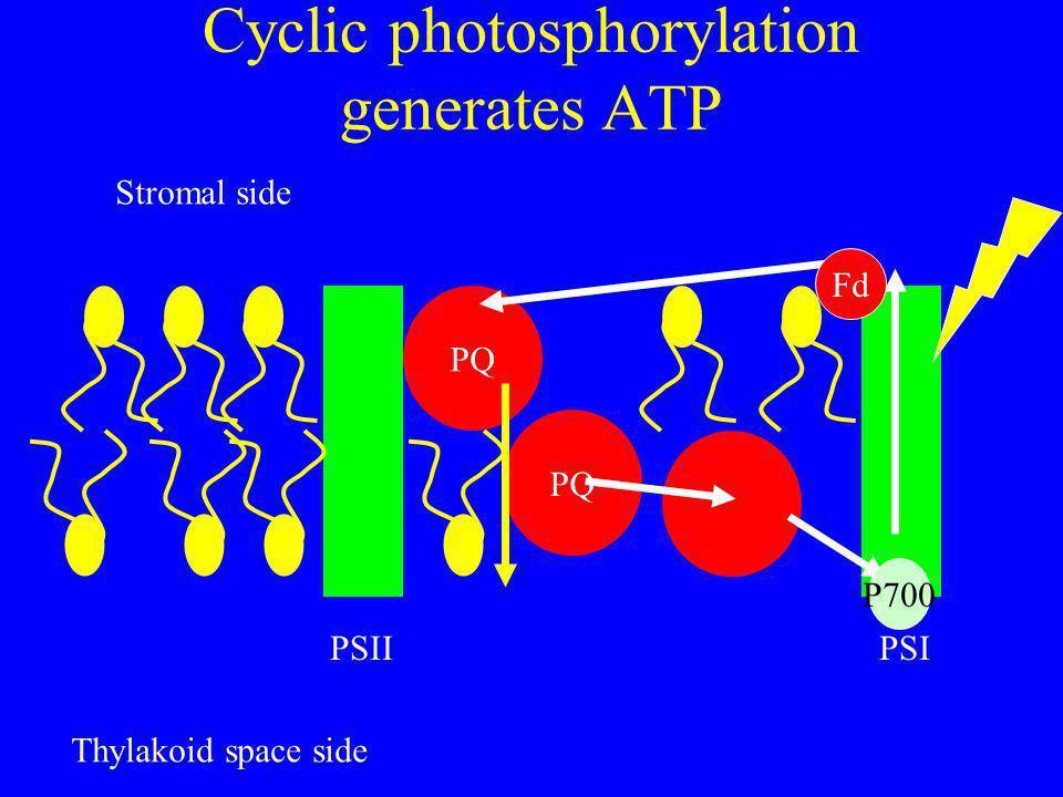Cyclic photosphorylation generates ATP PQ PSIIPSI Stromal side Thylakoid space side Fd P700