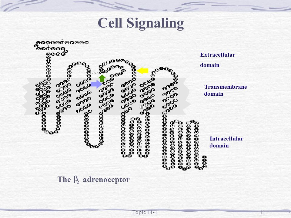 Topic 14-111 Cell Signaling The 2 adrenoceptor -S-S- Extracellular domain Intracellular domain Transmembrane domain