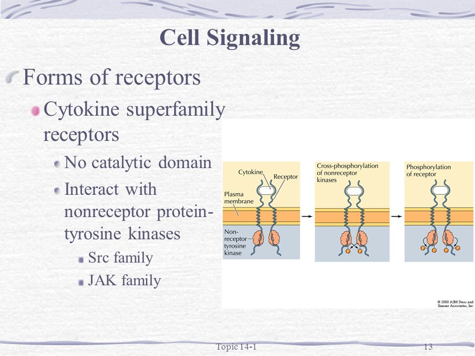Topic 14-113 Forms of receptors Cytokine superfamily receptors No catalytic domain Interact with nonreceptor protein- tyrosine kinases Src family JAK family Cell Signaling