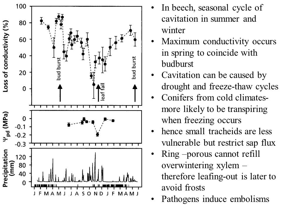 In beech, seasonal cycle of cavitation in summer and winter Maximum conductivity occurs in spring to coincide with budburst Cavitation can be caused b