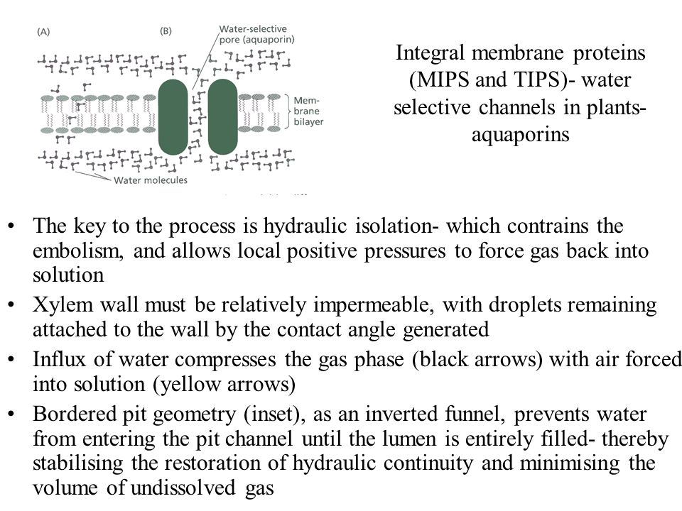 The key to the process is hydraulic isolation- which contrains the embolism, and allows local positive pressures to force gas back into solution Xylem