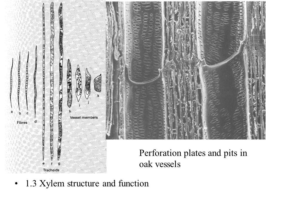1.3 Xylem structure and function Perforation plates and pits in oak vessels