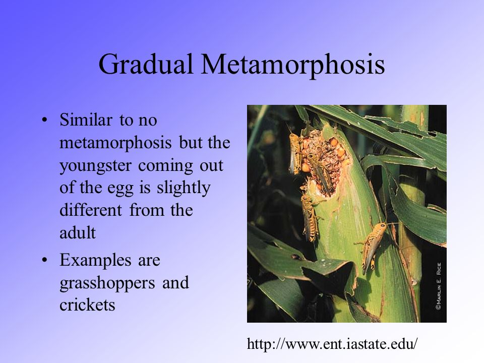 Gradual Metamorphosis Similar to no metamorphosis but the youngster coming out of the egg is slightly different from the adult Examples are grasshoppe