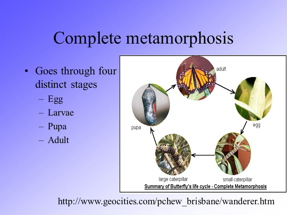 Complete metamorphosis Goes through four distinct stages –Egg –Larvae –Pupa –Adult http://www.geocities.com/pchew_brisbane/wanderer.htm
