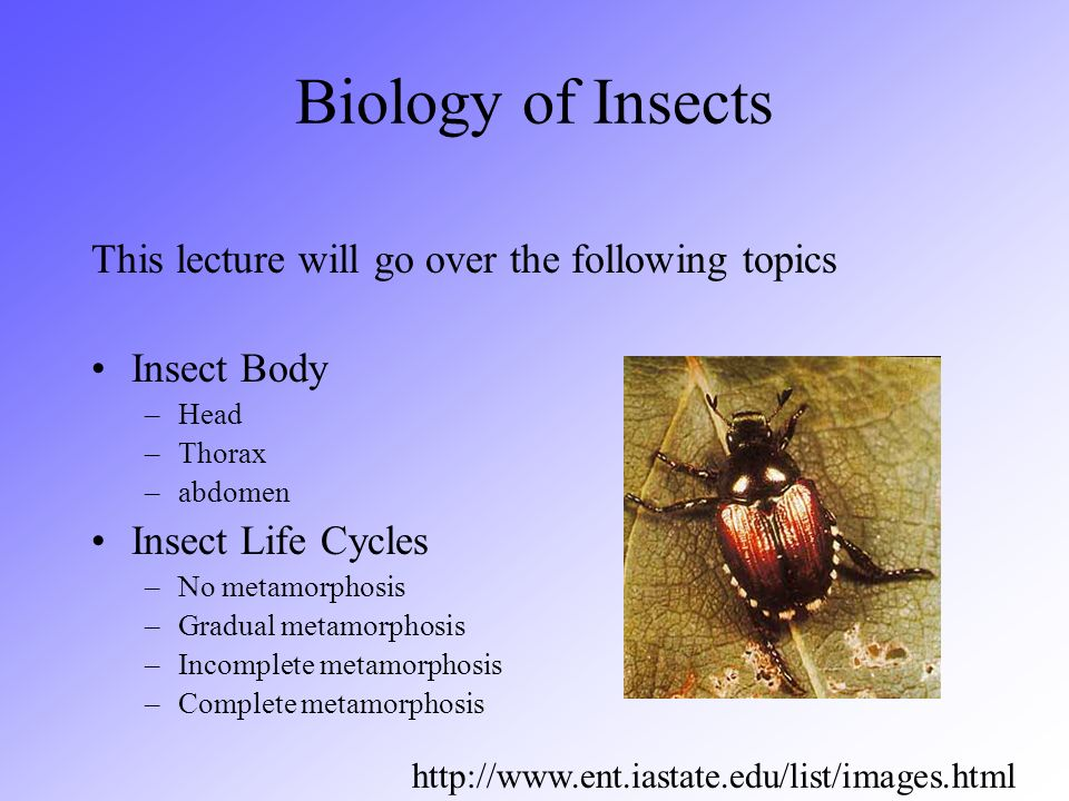 Biology of Insects This lecture will go over the following topics Insect Body –Head –Thorax –abdomen Insect Life Cycles –No metamorphosis –Gradual met