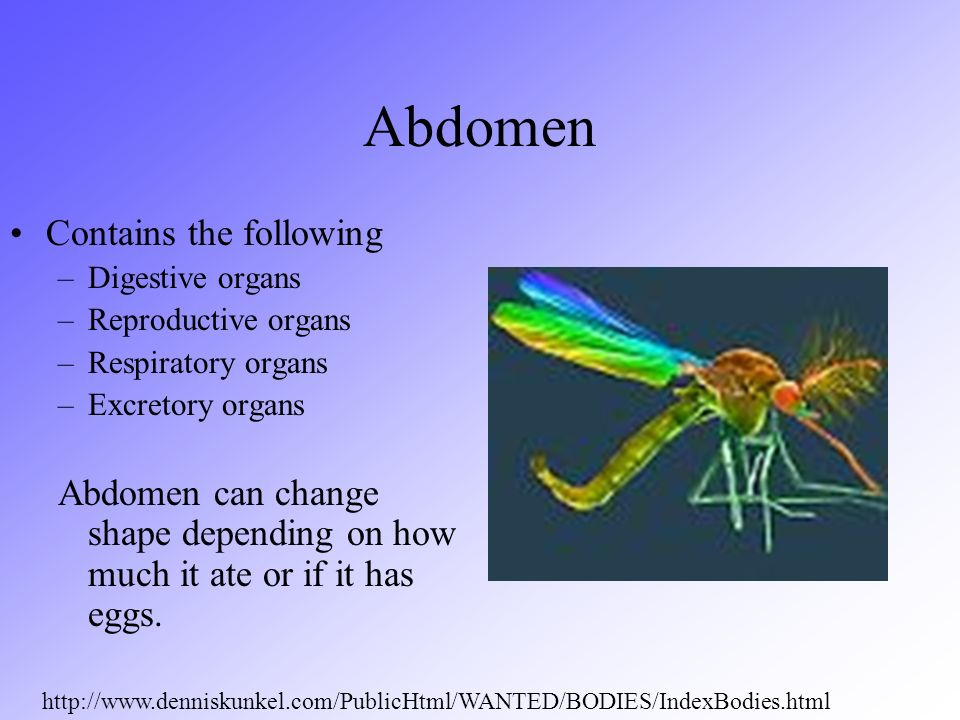 Abdomen Contains the following –Digestive organs –Reproductive organs –Respiratory organs –Excretory organs Abdomen can change shape depending on how