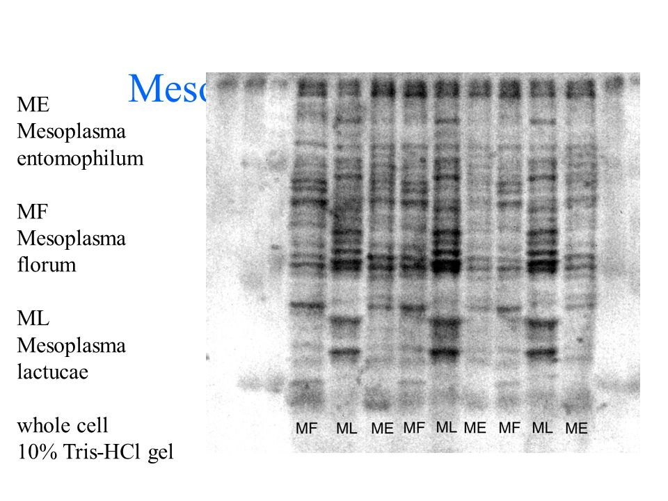 Mesoplasma SDS-PAGE ME Mesoplasma entomophilum MF Mesoplasma florum ML Mesoplasma lactucae whole cell 10% Tris-HCl gel