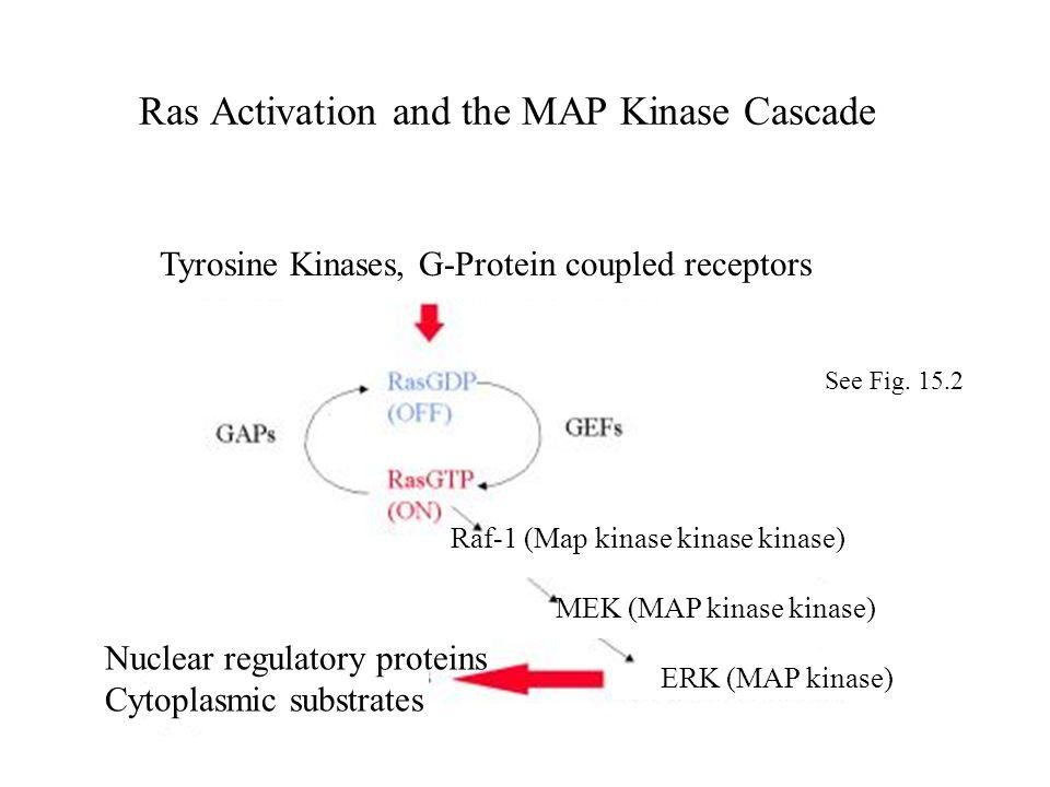 Ras Activation and the MAP Kinase Cascade Raf-1 (Map kinase kinase kinase) MEK (MAP kinase kinase) ERK (MAP kinase) Tyrosine Kinases, G-Protein couple