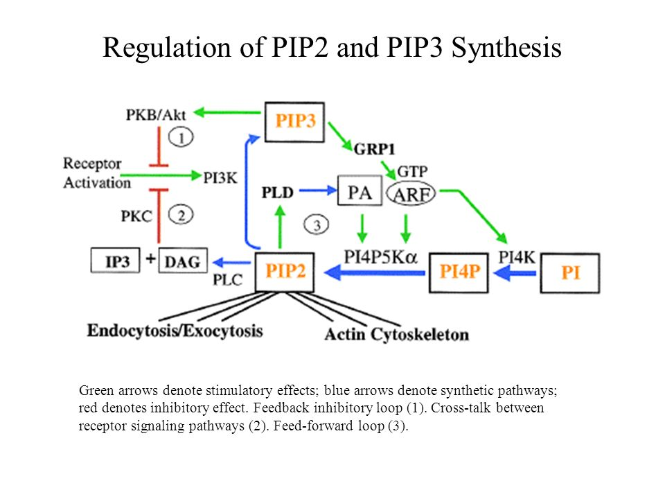 Regulation of PIP2 and PIP3 Synthesis Green arrows denote stimulatory effects; blue arrows denote synthetic pathways; red denotes inhibitory effect. F